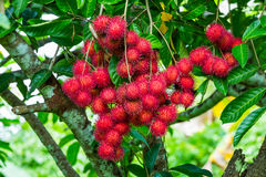 Cluster of rambutan Royalty Free Stock Photo