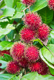 Cluster of rambutan Stock Images