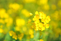 Cluster of Rapeseed flowers (Japan) Royalty Free Stock Photo