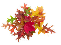 Cluster of real autumn leaves Royalty Free Stock Image