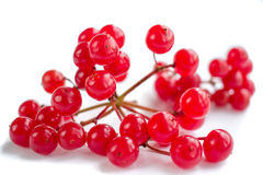 Cluster of red berries of guelder rose isolated Stock Photos