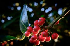 Close-up view of red berries seen on a wild holly tree during winter. royalty free stock photo
