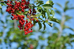 Cluster of a red bird cherry on a tree branch. Summertime Royalty Free Stock Photo