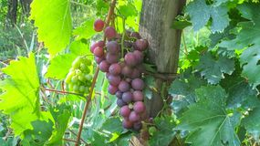 Cluster Red Cardinal Table Grapes royalty free stock image