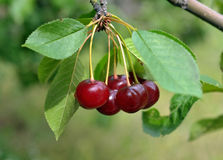 Cluster of red cherries Royalty Free Stock Image