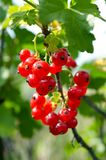Cluster red currant Royalty Free Stock Images