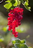 Cluster of red currant Royalty Free Stock Photography