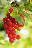 Cluster of a red currant Royalty Free Stock Image