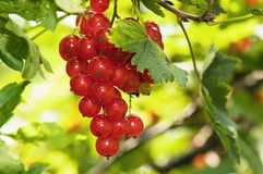 Cluster of a red currant. On a branch stock photo