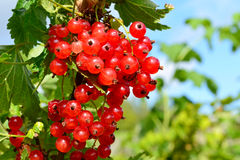 Cluster of a red currant Royalty Free Stock Images