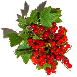 Cluster of red currant berries Royalty Free Stock Photos