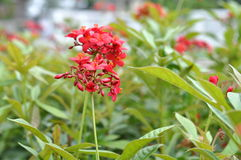 A Cluster Of Red Flower Along The Walking Path. A Small Cluster Red Flower Along The Walking Path Royalty Free Stock Photo