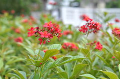 A Cluster Of Red Flower Along The Walking Path. A Small Cluster Red Flower Along The Walking Path Royalty Free Stock Photography