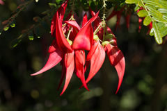 Cluster of red flowers of Clianthus with water drops Stock Photo