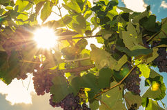 Cluster of red grape and sunshine Royalty Free Stock Photography
