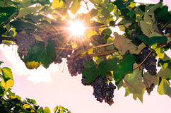 Cluster of red grape and sunshine Royalty Free Stock Images