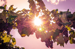 Cluster of red grape and sunshine Royalty Free Stock Image