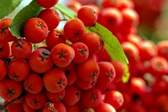 Cluster of red  rowanberry in the garden - closeup Stock Photo