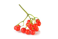 Cluster of red rowanberry Stock Photography