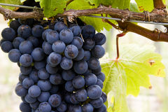 Cluster of red wine producing grapes Stock Images