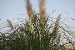 A cluster of reed with flowers of it stock photography