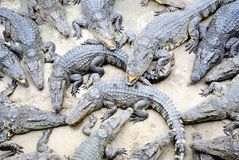 Cluster of reptiles, Siamese Crocodile. stock photo