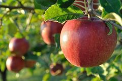 Cluster of ripe apples on a tree Stock Photos