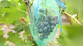 Cluster of ripe blue grapes in vineyard. Bunch of ripe juicy berries ready to be harvested in autumn. Vertical panorama. Close-up stock footage