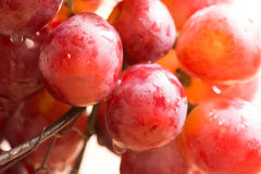 Cluster of ripe juicy organic red and pink grapes with water drops hanging over the edge of wire basket, harvest, summer Royalty Free Stock Photography