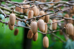 Cluster of ripe kiwi fruit on the branch Stock Images