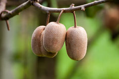 Cluster of ripe kiwi fruit on the branch Royalty Free Stock Photos
