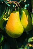 Cluster of ripe pears on a tree branch Royalty Free Stock Image
