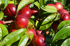 Cluster of ripe pluots on a tree. Cluster of ripe pluots ready for harvest Royalty Free Stock Image