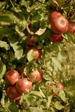 Cluster of ripe red apples Stock Image