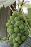 Cluster of ripe white wine grapes on the vine Stock Photos