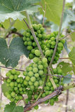 Cluster of ripe white wine grapes on the vine Royalty Free Stock Photography