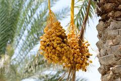 Cluster of ripening dates hanging from a date palm Stock Images