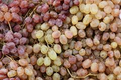 A cluster of ripening grapes Stock Photography