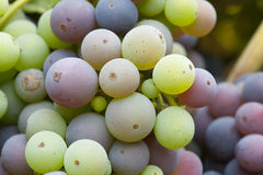 Cluster of ripening organic Zinfandel grapes. Close-up organically grown Zinfandel grapes in the process of ripening to full flavor Stock Image