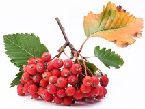 Cluster of rowan berries. Stock Images