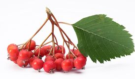 Cluster of rowan berries. Royalty Free Stock Photography