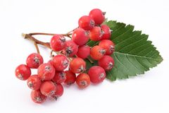 Cluster of rowan berries. Royalty Free Stock Photo