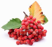Cluster of rowan berries. Stock Photos