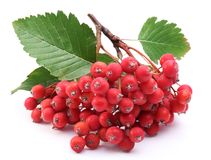 Cluster of rowan berries. Stock Photo