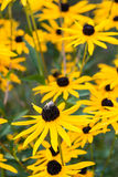 Cluster of rudbeckia flowers Royalty Free Stock Images