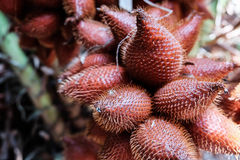 Cluster of Salacca. Salacca cluster , red exotic fruit in tropic zone Royalty Free Stock Photo