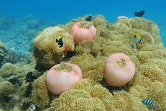 Cluster of sea anemones Heteractis magnifica Stock Photography