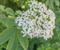 Cluster of small Elderberry flowers in sprintime Stock Image