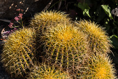 Cluster of Small Golden Barrel Cactus stock photography