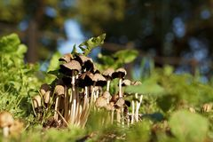 Cluster Of Small Thin-Stalked Mushrooms Stock Image
